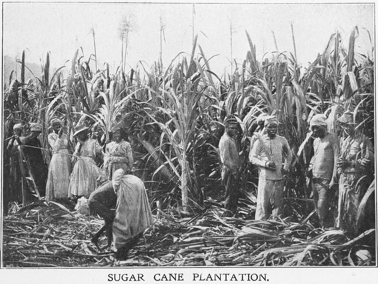 Sugar cane plantation workers in this 1909 photo. (Source: Schomburg Center for Research in Black Culture)