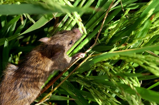 A field rat (Photo Source: International Rice Research Institute (IRRI) via Flickr)