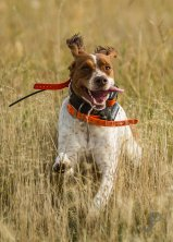 Cory Stokes dog Annie in search of pheasants.