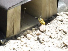 Wasp entering test tunnel