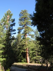 Largest Ponderosa pine in Southern California