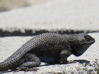 Granite spiny lizard displaying