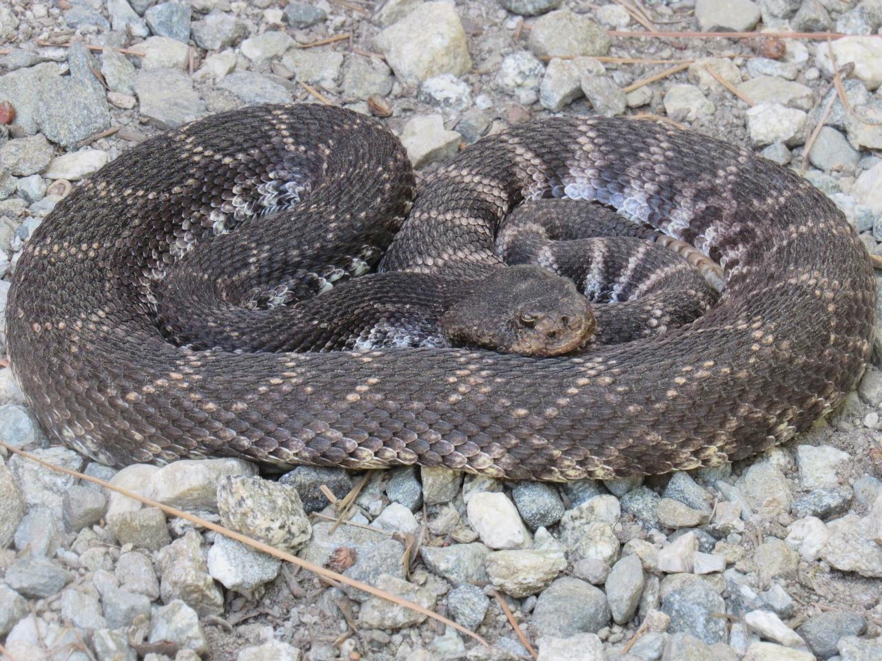 Western diamond back rattlesnake
