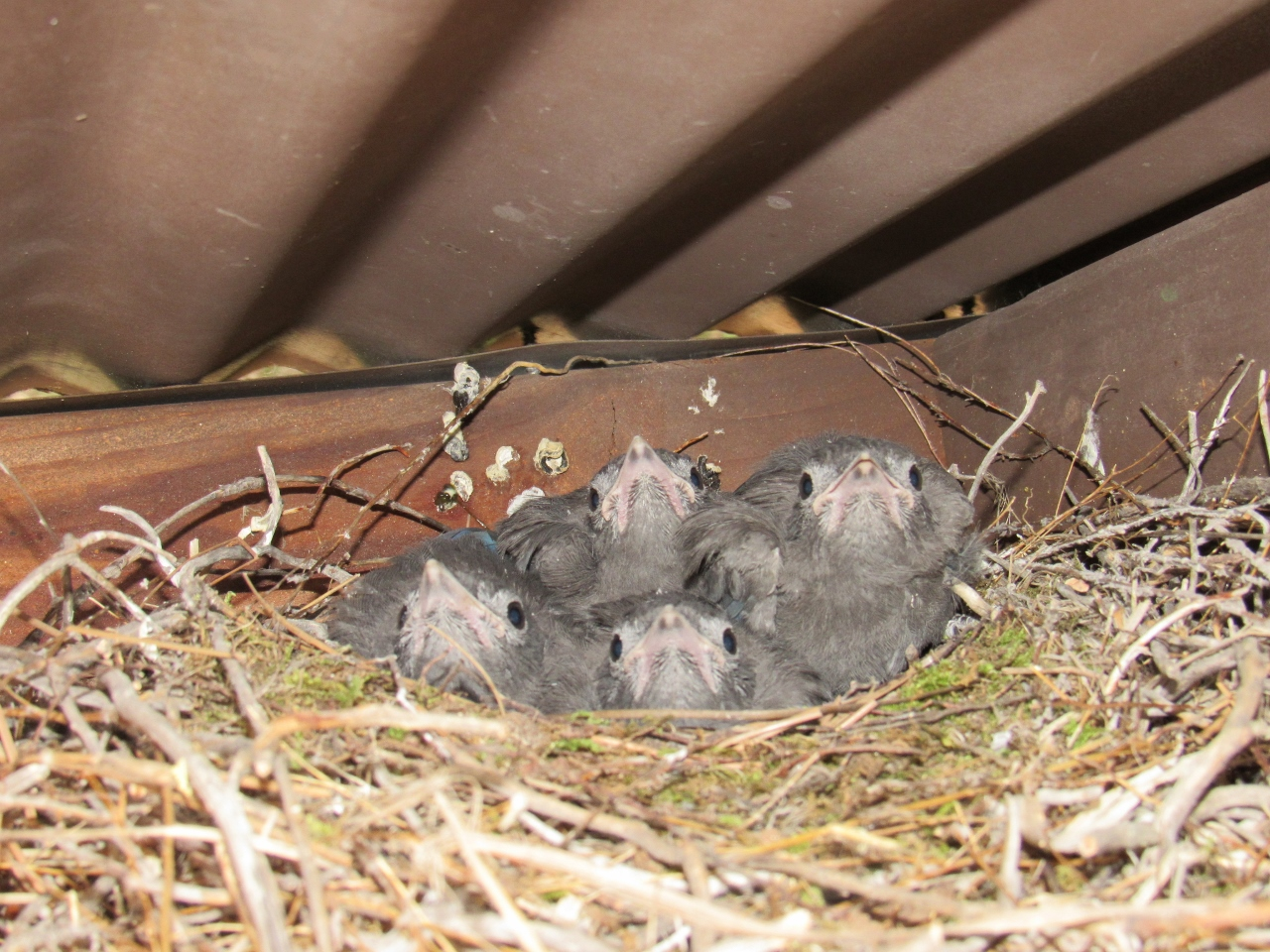 Young Steller's jays at the James Reserve