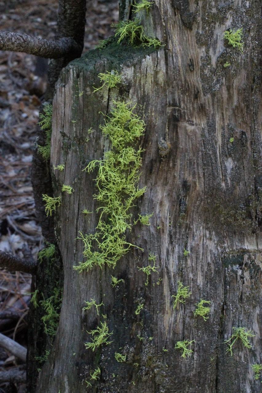Lichen growing on old stump