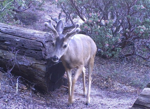 Male mule deer at the James