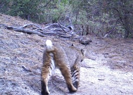 Male bobcat