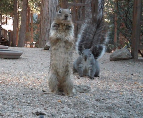 A gray squirrel (back) and ground squirrel together