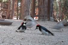 Acorn Wookdpecker