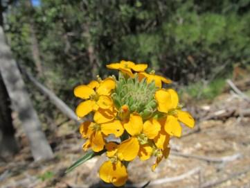 Western Wall Flower