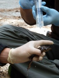 Testing the health of a mountain yellow-legged frog at the James