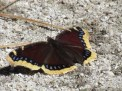 Mourning Cloak Butterfly at the James