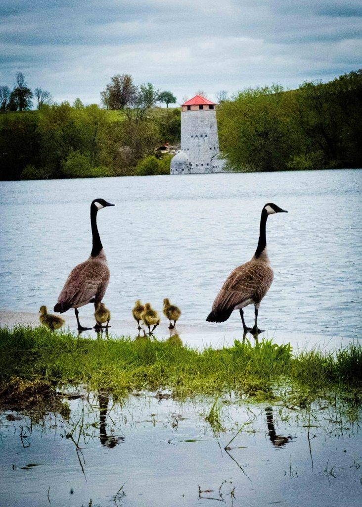 james-alexander-michie-canada-goose
