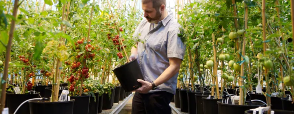 Plant geneticist Zach Lippman examines cherry tomatoes CBC News | James Alexander Michie