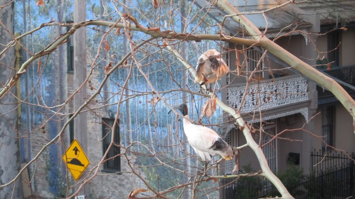 Winter has arrived in Sydney (as you can see from the tree); it's my last day of holidays (back to work tomorrow); and these are very ugly noisy birds you normally find on top of garbage bins; but this was still a rather nice image to wake up to earlier this morning.