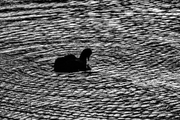 JCCI-100083 - Eurasian Coot waterbird surrounded by eternal ripples in the water