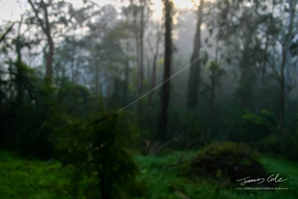 JCCI-100117 - A single thread of a spiders web traverses the foggy forest landscape