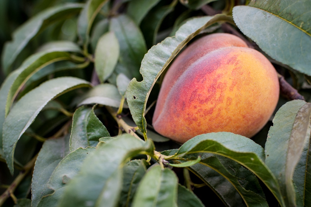 Masumoto-Farms-Peach-Adoption-1