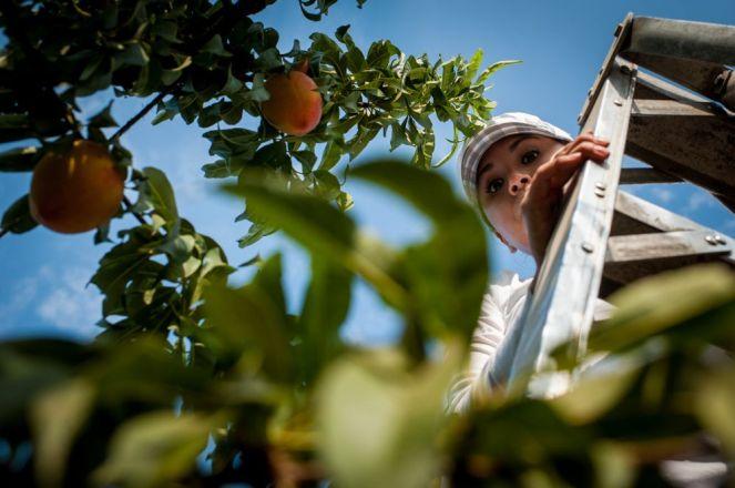 Masumoto-Farms-Peach-Adoption-11