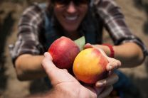 Masumoto-Farms-Peach-Adoption-7