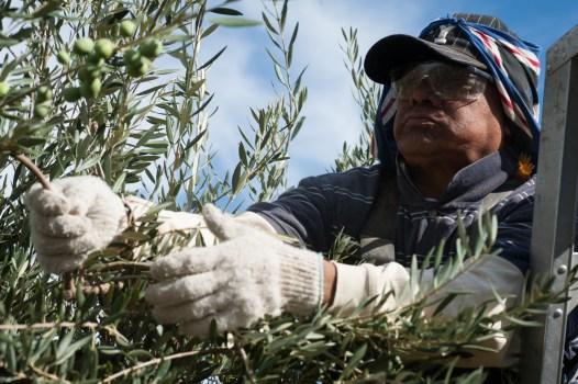 PR-Farms-Olive-Harvest-11