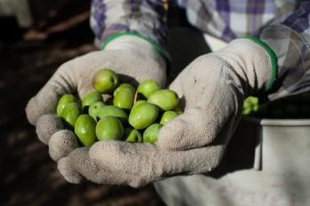 PR-Farms-Olive-Harvest-14