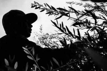 PR-Farms-Olive-Harvest-15