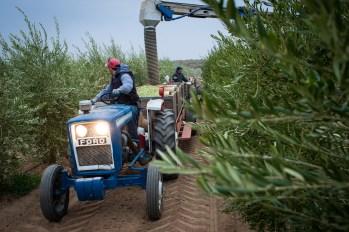 PR-Farms-Olive-Harvest-3
