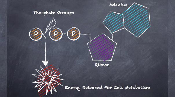 ATP energy release