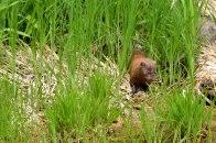 A mink I think
