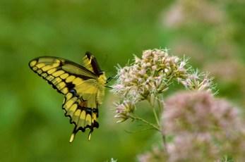 GiantSwallowtailButterfly_001