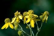Wingstem, Yellow Ironweed - Verbesina alternifolia