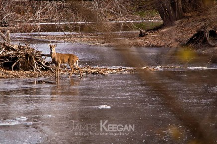 White Tail Deer in Icy River