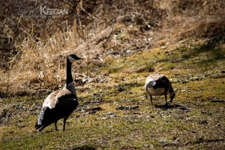 Canada Geese_0039