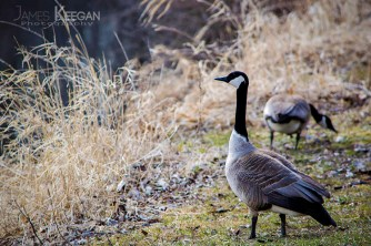 Canada Geese_0057