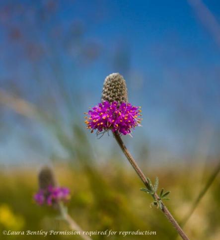 Wildflowers- Purple Coneflower