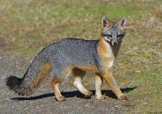 Gray Fox, Photo courtesy of Jerry Ting, Flickr