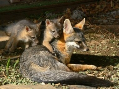 Gray Fox Mother and Kits