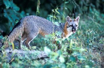 Gray Fox In Plant Cover