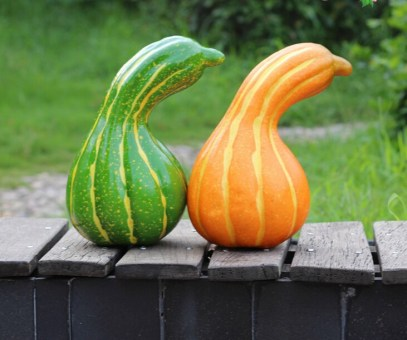 Green and Orange Striped Cushaw Squash
