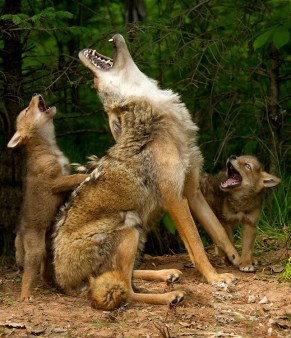 Coyote Howling via HuffingtonPost dot com, by Debbie DiCarlo Photography
