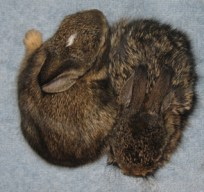 Bunnies in a Blanket via ProjectWildlife.org