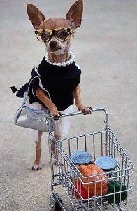 Chihuahua Dressed for Shopping via Pinterest uncredited