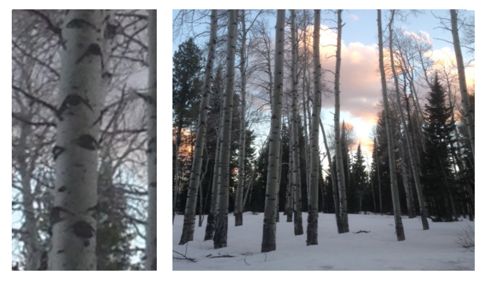 Aspen's Eye bark and A view of them against the setting Sun.