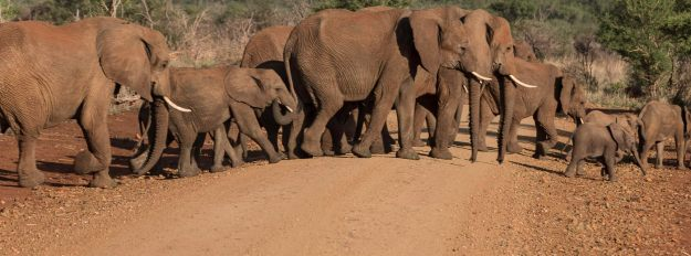Elephants crossing road in Africa