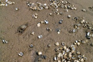 Shells, crabs on The Coorong