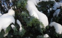 Snow on pine at Eriksdal Koloni