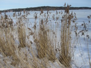 Reeds in the frozen water