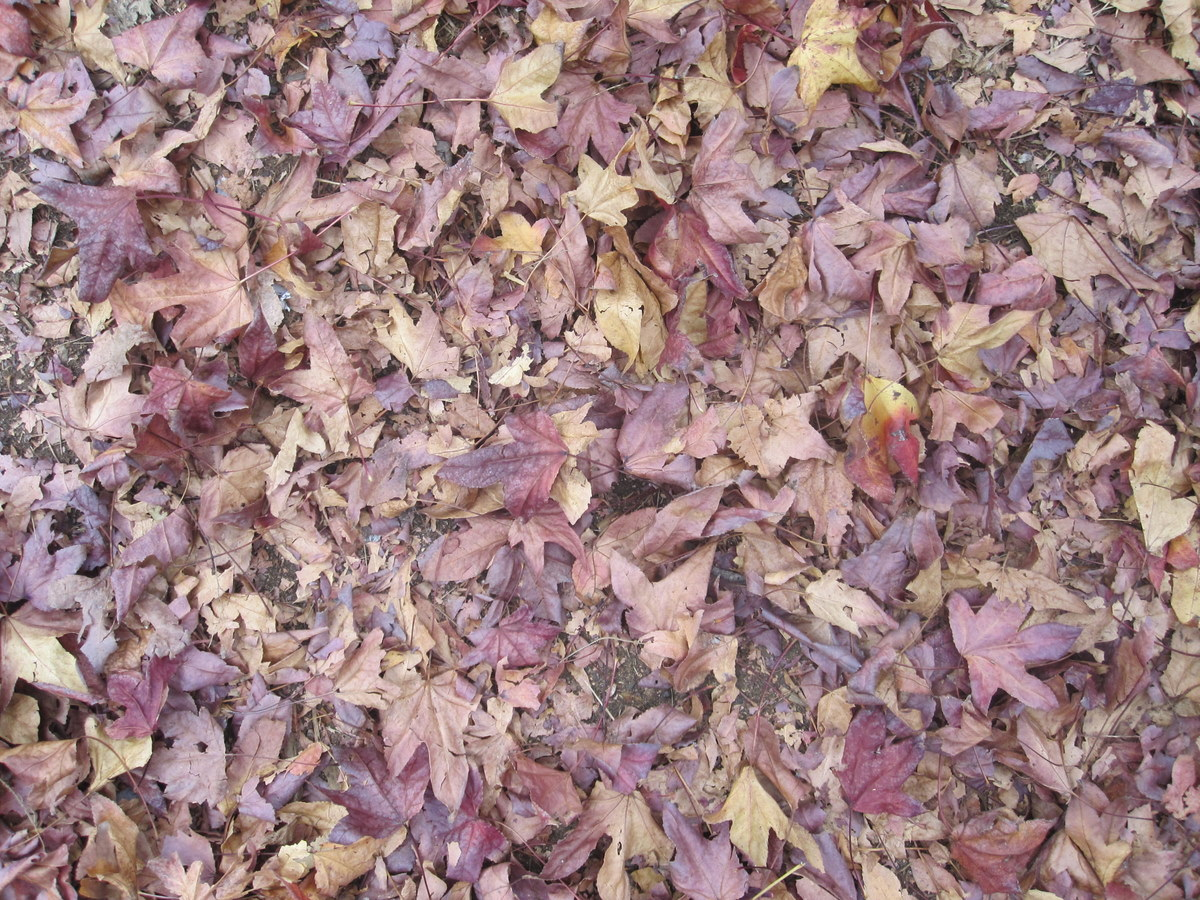 Autumn leaves in Sydney