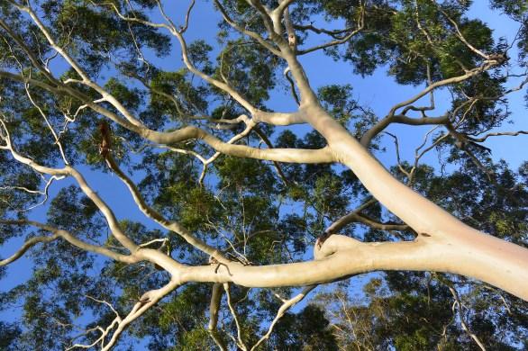 Gorgeous gum on NSW Central Coast